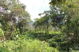 Tea Field -Tingo María - Arafat Espinoza