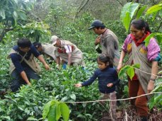 Family harvesing tea -cusco - Arafat Espinoza