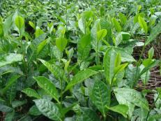 Tea - cusco - arafat espinoza