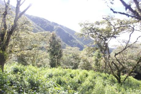Tea fields cusco - arafat espinoza